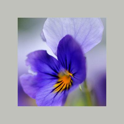 Kleines Stiefmütterchen (Viola tricolor)