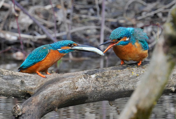 Eisvogel Fischfütterung
