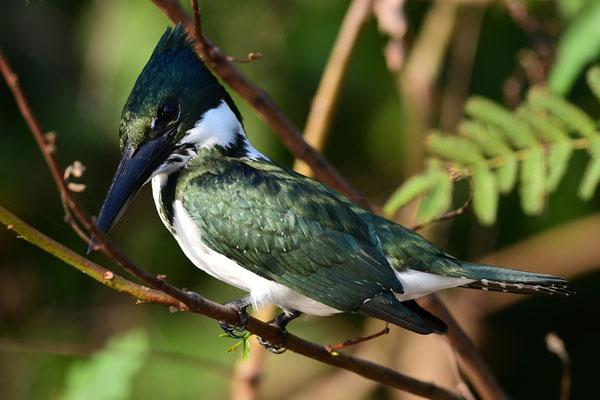 Grünfischer (Chloroceryle americana); Pantanal Juli 2016