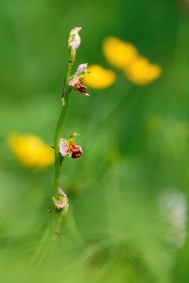 Bienenragwurz  (Ophrys apifera); Asp; 6. Juni 2016