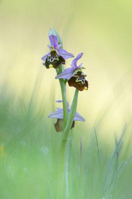 Hummelragwurz (Ophrys holoserica); Im Badischen; 24. Mai 2019