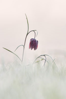Schachbrettblume (Fritillaria meleagris); Villers-le Lac (F); 8. April 2017