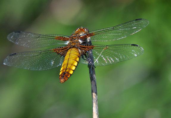 Plattbauch (Libellula depressa) Weibchen