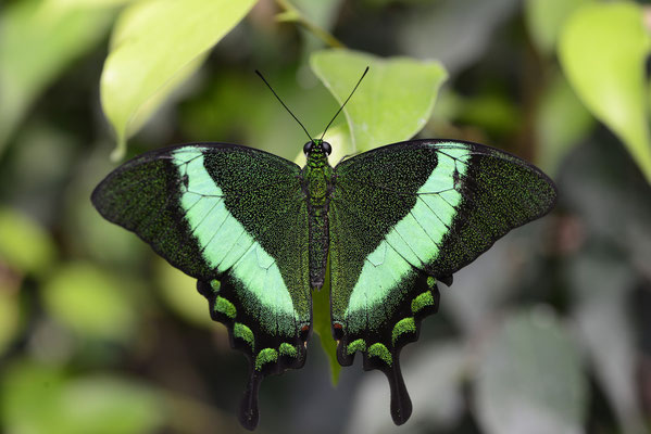 Neon-Schwalbenschwanz (Papilio palinurus)