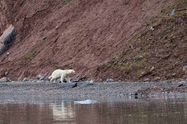...stellen wir einen  Ankleidungs- und Wasserungsrekord auf; der Bär schlendert vorerst dem Ufer entlang...