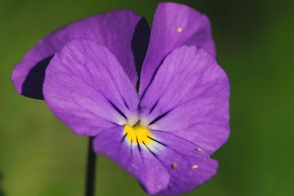 Ackerstiefmütterchen (Viola arvensis)