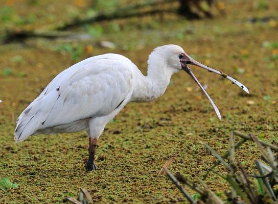Afrikanischer Löffler (Platalea alba) Lake Manyara Tansania