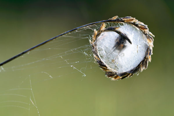 Schilfrad-Spinne (Larinioides cornutus); jedenfalls seltsam; Plain de Saigne, Montfaucon (JU)