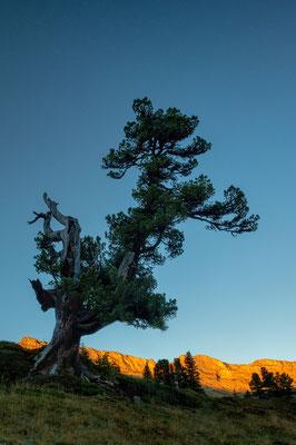 Zirbelkiefer oder Arve (Pinus cembra), Gental (CH), 26. September 2018
