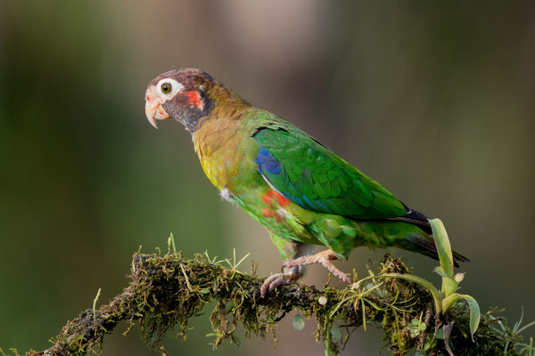 Blutohr-Papagei (Pyrilia haematotis)