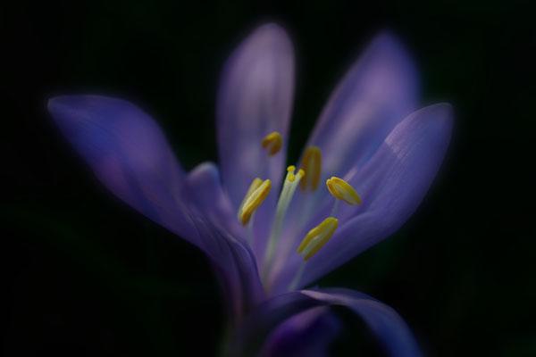 Frühlingslichtblume (Colchicum bulbocodium); Les Follatères (VS); 13.3.2016