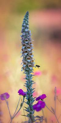19 - Wilder Wollfingerhut mit Biene