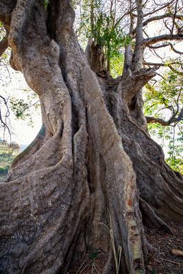 Kapokbaum, vor 500 Jahren aus Südamerika importiert; heute grösster Baum der Kapverden mit riesigem Umfang
