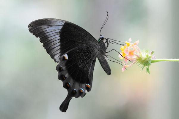 Grüner Schwalbenschwanz (Papilio palinurus)