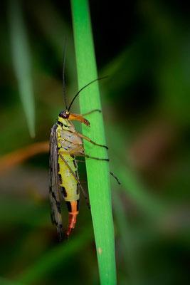 Skorpionsfliege (Panorpa communis) Weibchen