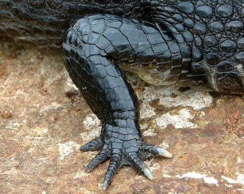 Brillenkaiman (Caiman yacare), Pantanal Brasilien [fingertip push-up :-)]