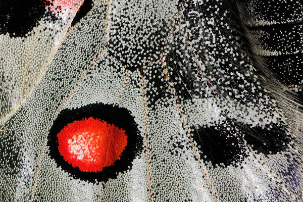 85 Apollo (Parnassius apollo), Detailstruktur; Tschlin GR; 31-7-2012