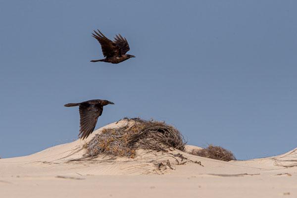Wüstenrabe (Corvus ruficollis), Boavista
