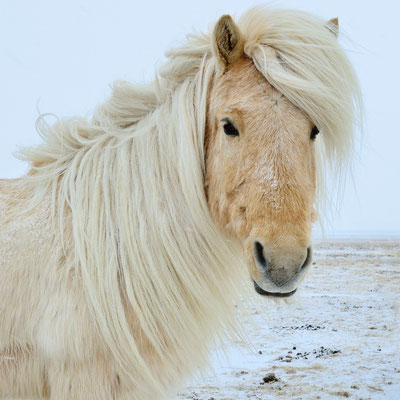 Das Islandpferd, auch Isländer oder Islandpony genannt; zwischen  Skaftafell und Vik