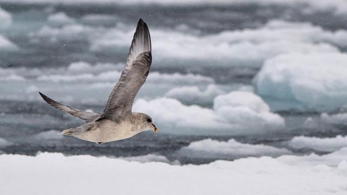 Die Präsenz der Eissturmvögel lassen es erahnen...