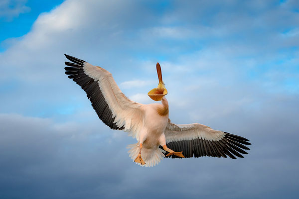 'Rosapelikan'; Top-Ten ('lobende Erwähnung') Kategorie 'Vögel'; Wettbewerb Naturfotografen Schweiz 2018; aus 1150 Bildern von 77 teilnehmenden Naturfotografen