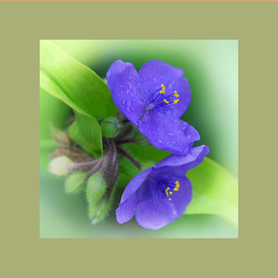 Dreimasterblume (Tradescantia virginiana)