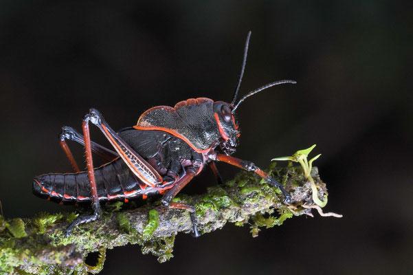 junge Lümmelheuschrecke (eastern lubber grasshopper, Romalea microptera) ist auch erwachsen mit ihren kurzen Flügeln nicht flugfähig; Costa Rica 2018
