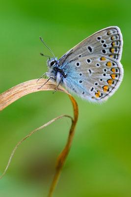 46 Hauhechel Bläuling (Polyommatus icarus)
