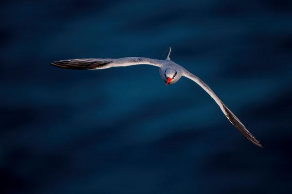 Rotschnabel-Tropikvogel, Steilküste Nähe Flughafen Praia