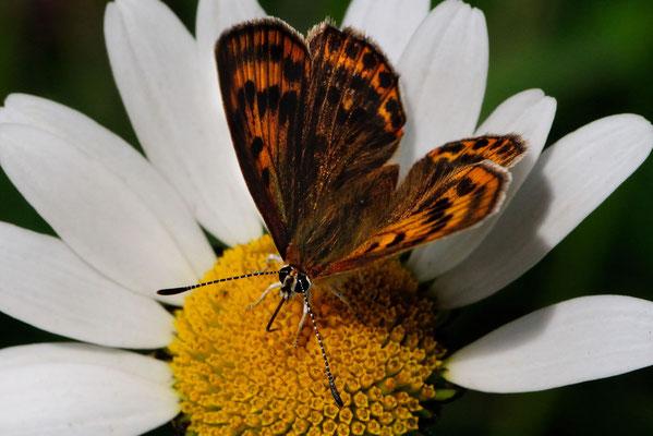 48 Brauner Feuerfalter (Lycaena tityrus), Weibchen