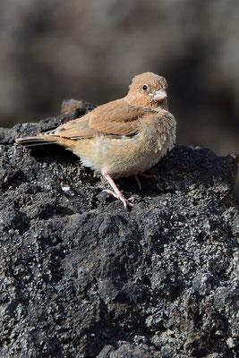 Wüstengimpel (Bucanetes githagineus) oder Wüstentrompeter, ist eine Finkenart; hier ein Vertreter der Jungmannschaft