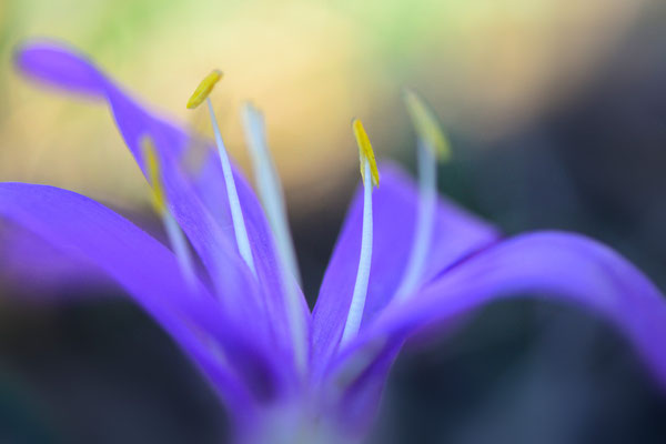 Frühlingslichtblume (Colchicum bulbocodium); 16. März 2013