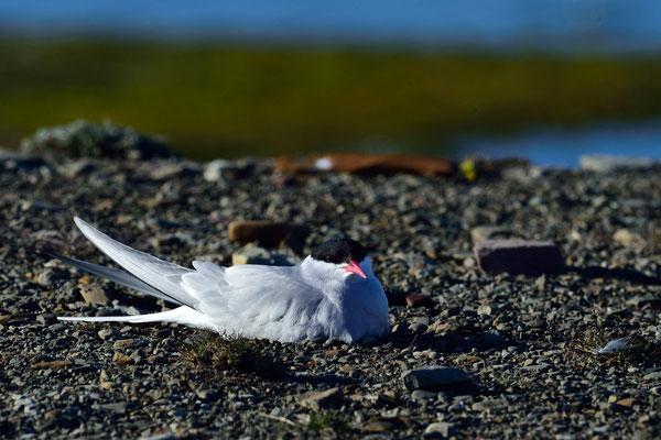 Küstenseeschwalbe (Sterna paradisaea); Longyearbyen; 4. Juli 2015