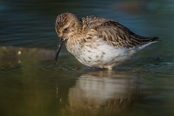 Alpenstrandläufer (Calidris alpina); Jona Stampf; 25.9.2016