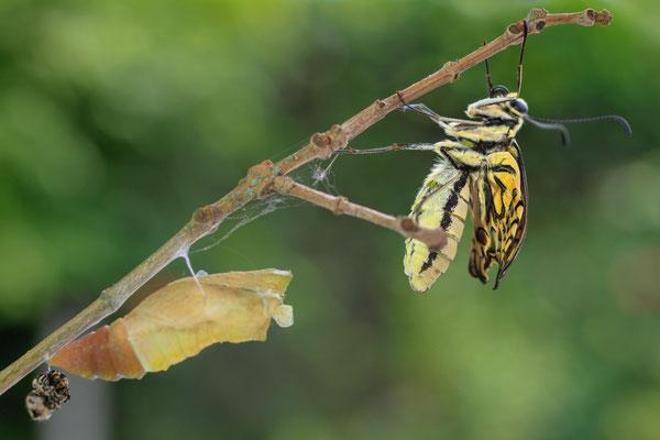 geschlüpfter Schmetterling entfernt sich einige Schritte von der Puppenhülle; der Schlupfprozess dauert ca 20 Sekunden