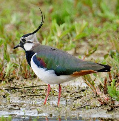 Kiebitz (Vanellus vanellus); Flachsee; 21-4-2012