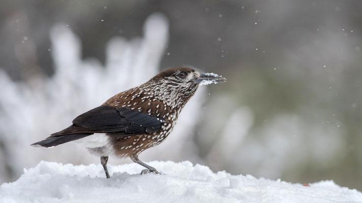 Tannenhäher (Nucifraga caryocatactes); 22./23. Februar 2018; Vitosha-Berge (Bulgarien)