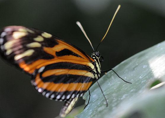 Tiger-Passionsfalter (Heliconius ismenius telchinia)