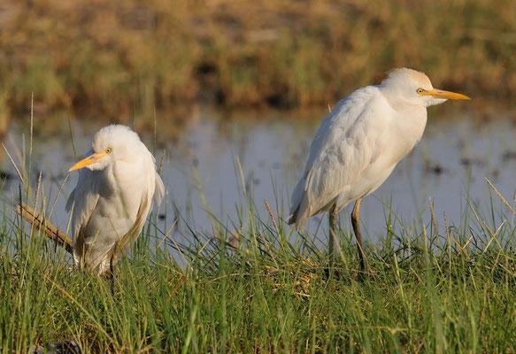 Kuhreiher (Bubulcus ibis); Lake Eyasy; Tansania