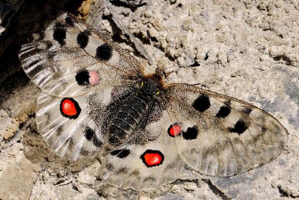 Apollo (Parnassius apollo); Tschlin GR; 312-7-2012