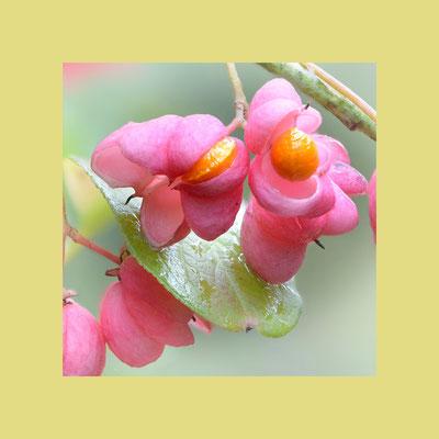 Gewöhnlicher Spindelstrauch (Euonymus europaeus), auch Europäisches oder Gewöhnliches Pfaffenhütchen