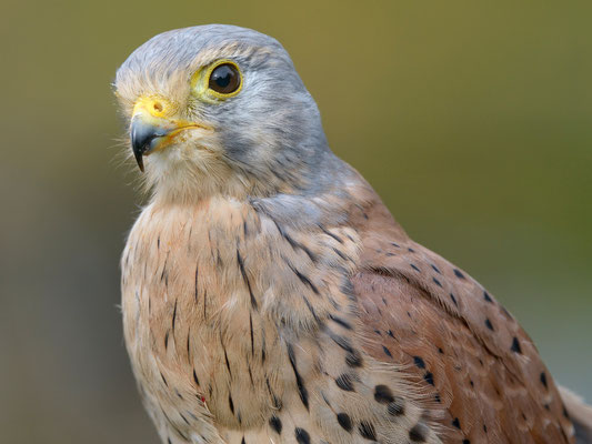 Turmfalke | Falco tinnunculus | ; Jagdexemplar, Luzerner Hinterland, Herbst 2012