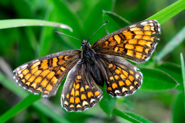 92 Wachtelweizen-Scheckenfalter (Melitaea athalia); Motta Naluns GR; 31-7-2012