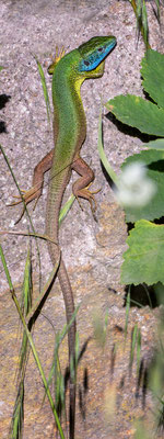 76 - Smaragdeidechse Männchen (Totale)