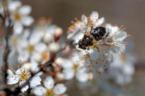 Auswahlbild 17 - Schlehe mit Wildbiene