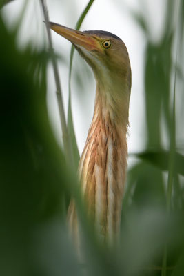 Zwergdommel (Ixobrychus minutus); Rumänien; Juni 2014
