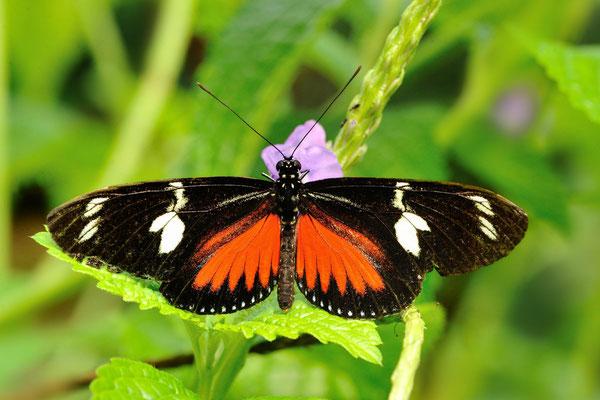 Dorisfalter (Heliconius doris)