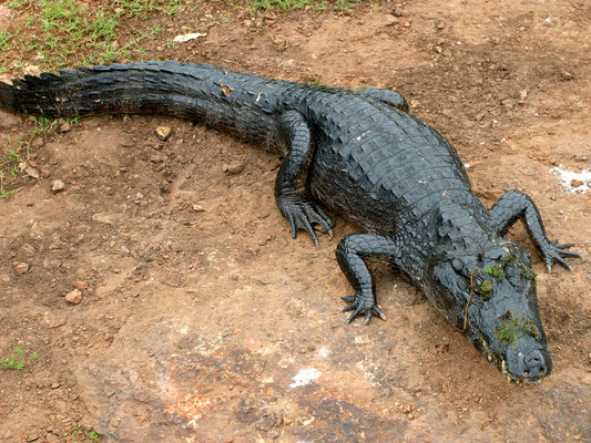 Brillenkaiman (Caiman yacare), Pantanal Brasilien