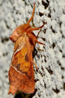 66 Ampfer-Wurzelbohrer (Triodia sylvina)