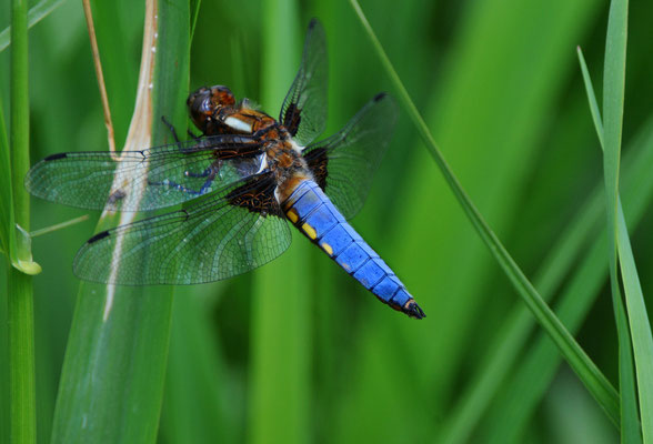 Plattbauch (Libellula depressa) Männchen